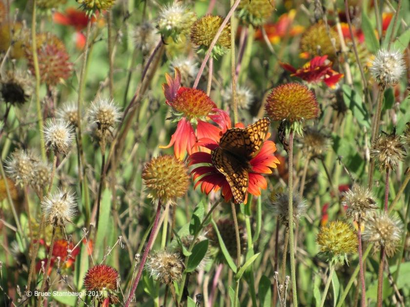 gaillardia, blanket flower, great spangled fritillaary