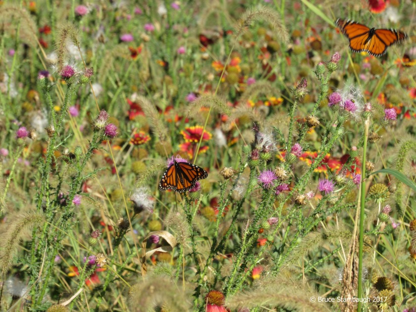 Monarch butterflies, meadow, wildflowers
