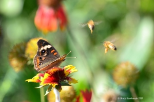 Common Buckeye, honeybees,
