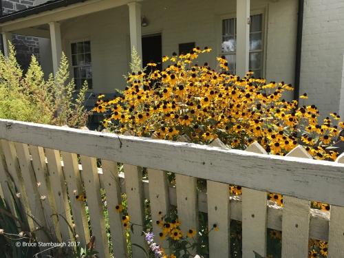 picket fence, black-eyed susans
