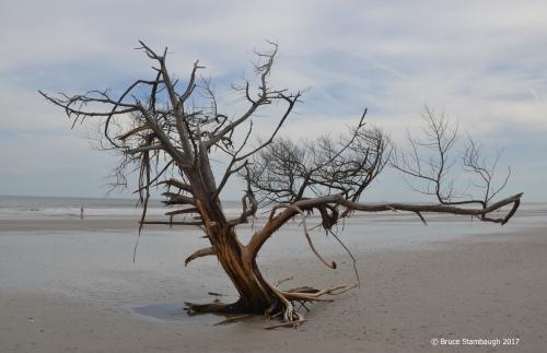 driftwood tree, Little Talbot Island State Park FL