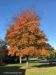 red maple, fall colors