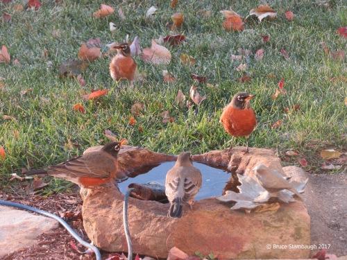 robins, birdbath