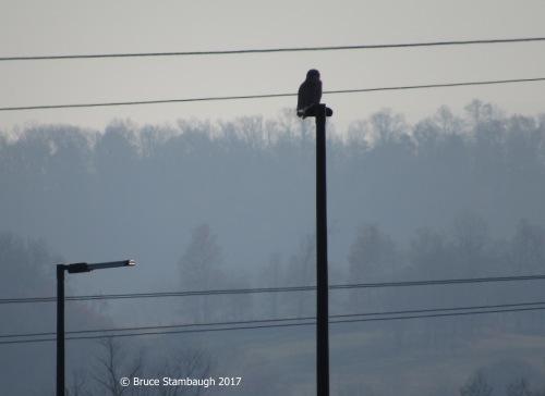 snowy owl, Harrisonburg VA