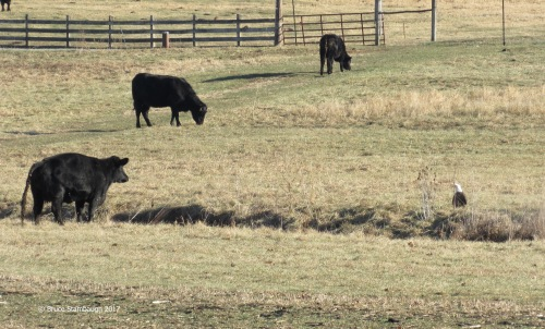 black angus steer, bald eagle, Harrisonburg VA
