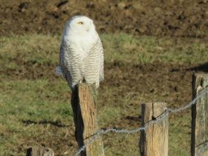 snowy owl, Holmes Co. OH