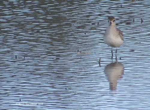 shorebird, Florida