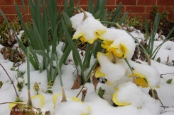 snow on spring flowers