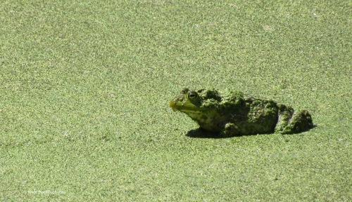 bullfrog, St. Patrick's Day