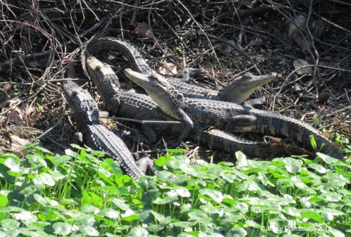 baby alligators, Egans Creek Greenway, Fernandina Beach FL