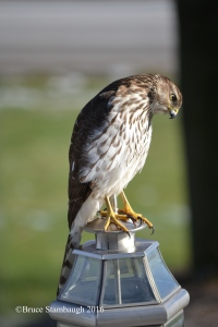 Coopers Hawk, Holmes Co. OH