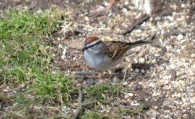 Chipping Sparrow.