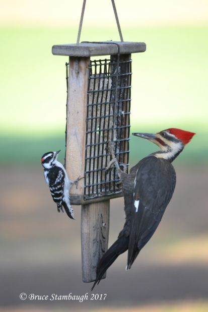 Male Downy and Male Pileated Woodpeckers.