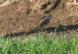white-throated sparrow, Virginia