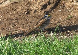 white-throated sparrow, Virginia