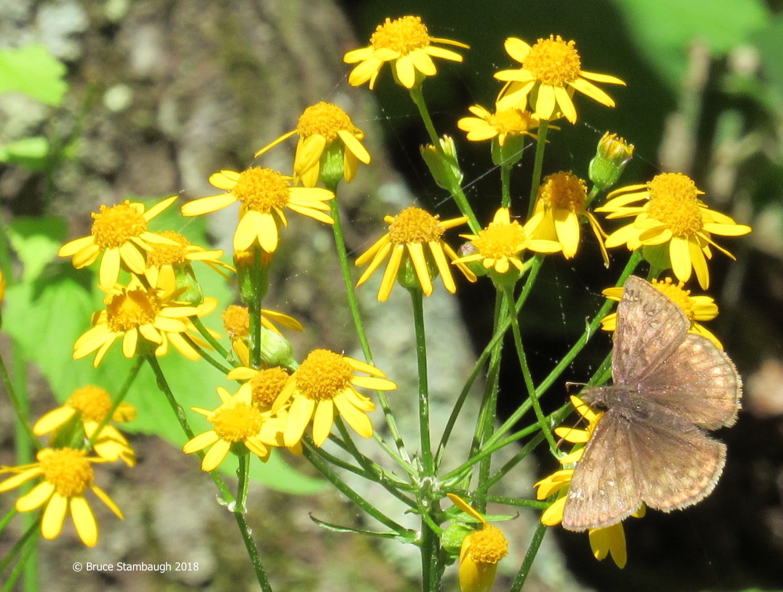 Confused Cloudywing, Golden Ragwort