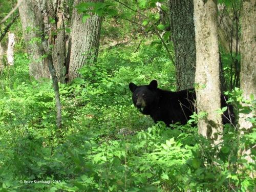 black bear cub, Shenandoah NP