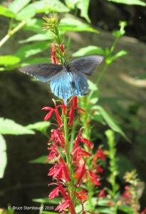 butterfly, wildflowers, Virginia