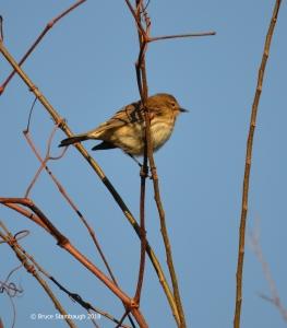 warblers, Florida