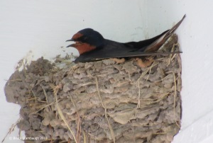 barn swallow, insect-eating birds
