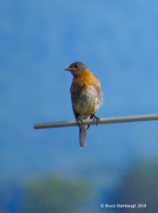 eastern bluebird, bird migration