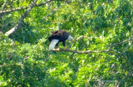 Leesville Lake VA, Bald Eagle