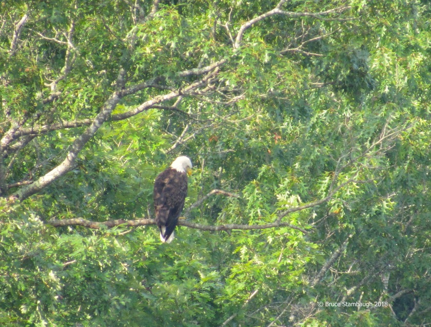 Bald Eagle, Virginia
