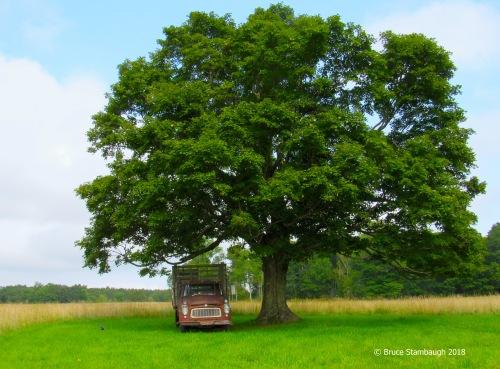 rusty truck, giant sugar maple