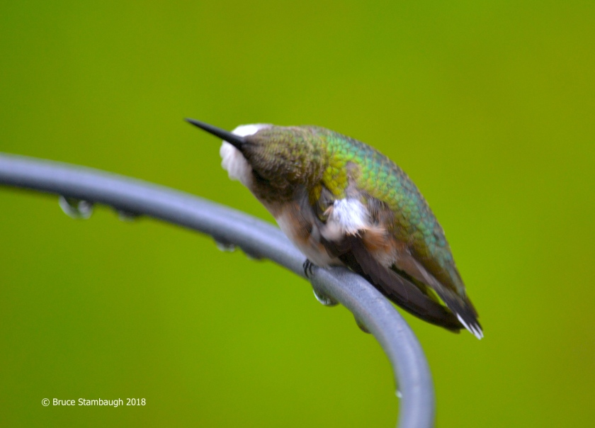 ruby-throated hummingbird, bird migration