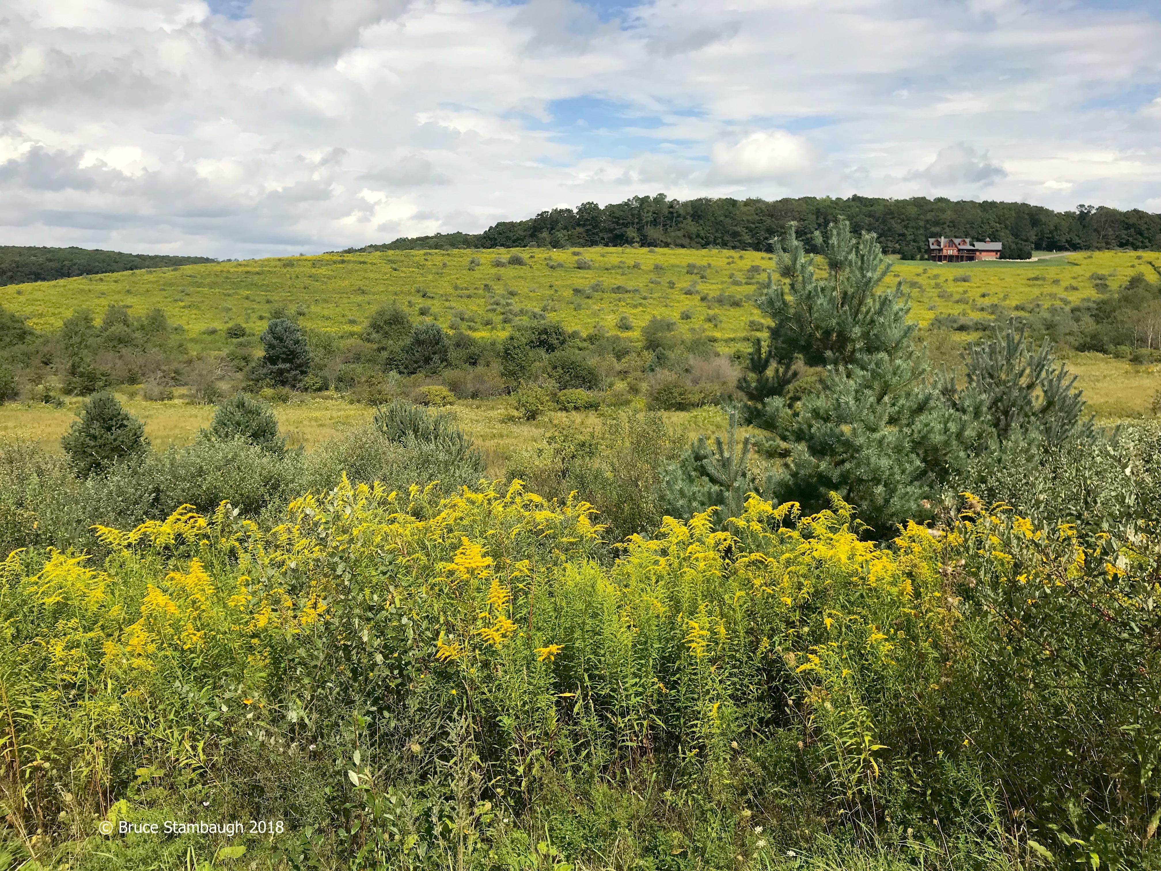 goldenrod, rural scene