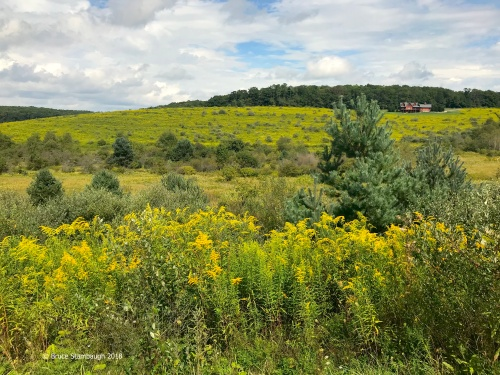 goldenrod, rural scene