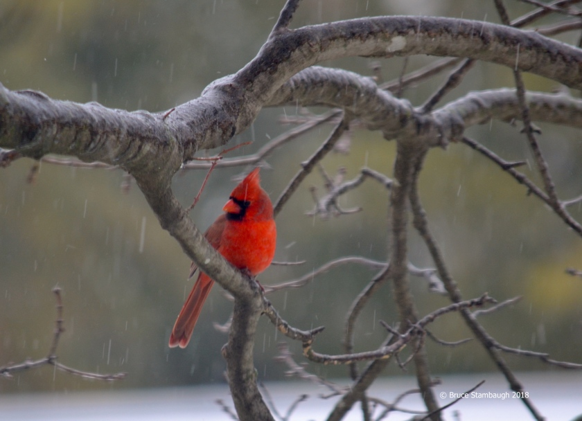 ice storm, male cardinal