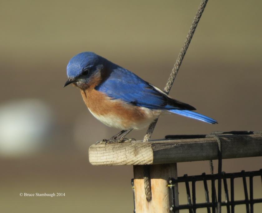 eastern bluebird in winter