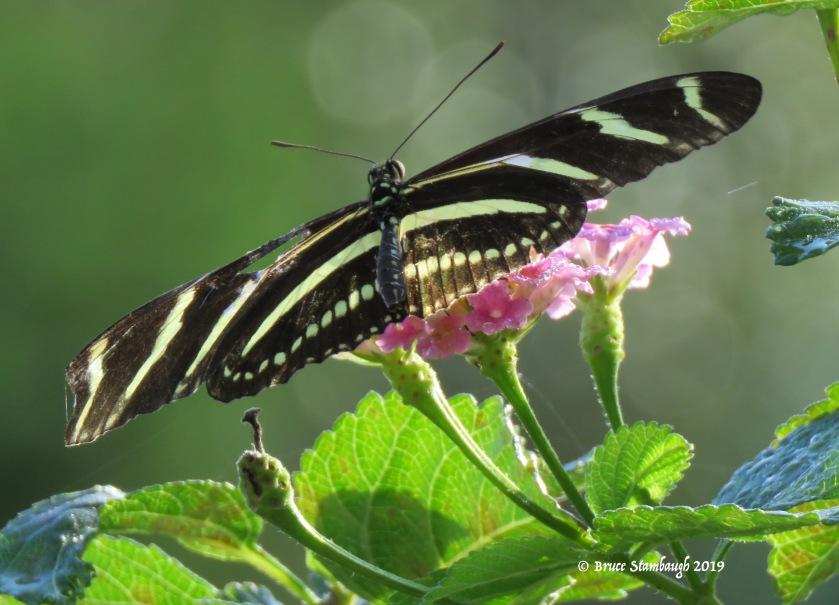 Zebra longwing butterfly, FL state butterfly