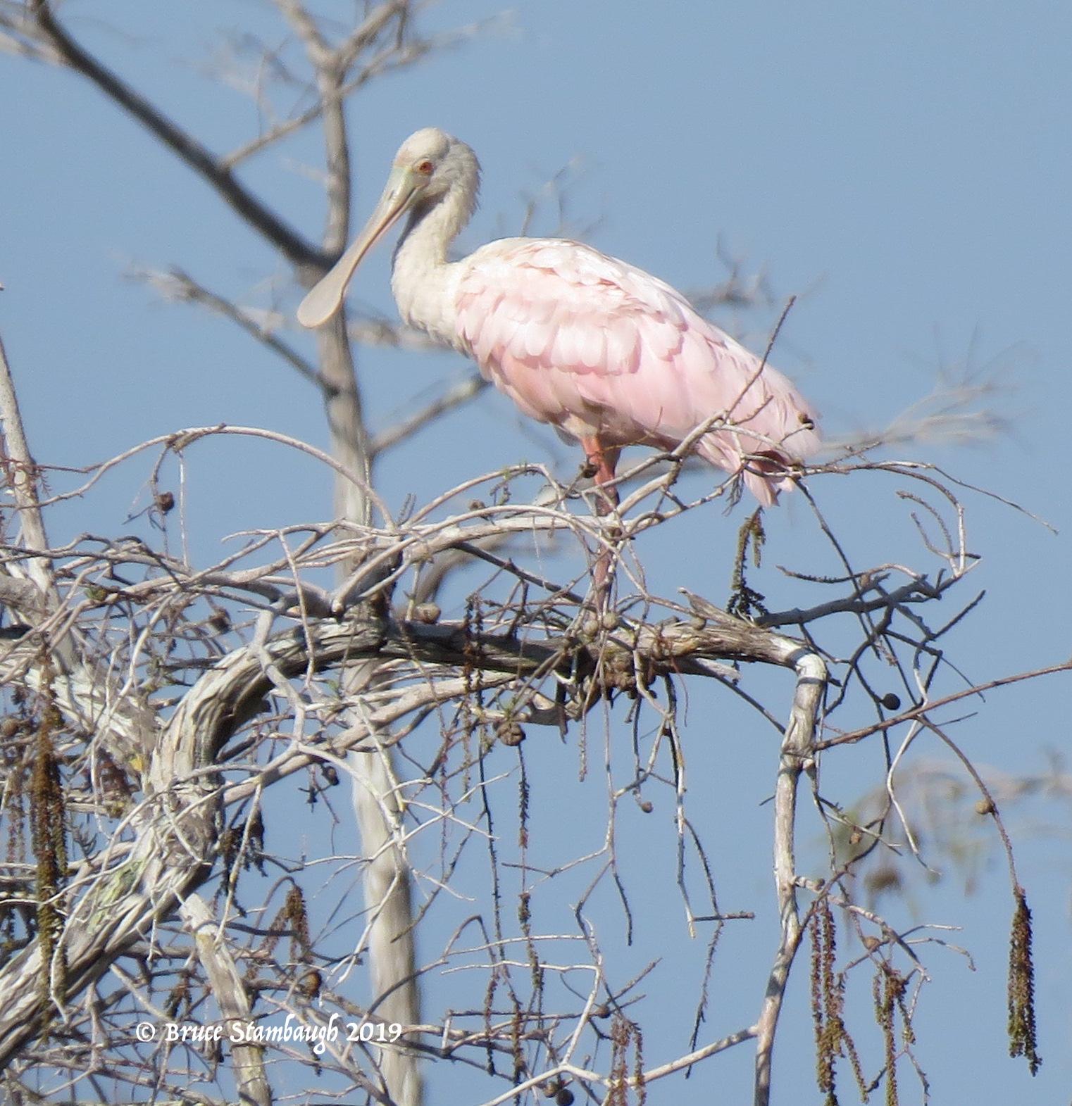 roseate spoonbill, Everglades NP