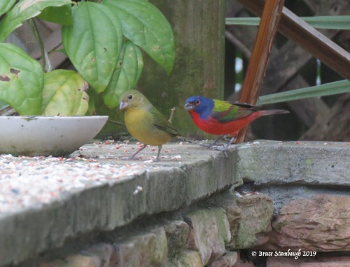 painted buntings, Amelia Island FL