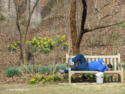 daffodils, sleeping on a park bench
