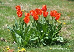 tulips, spring flowers
