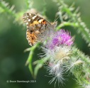 A Painted Lady near the Big Meadows parking lot.
