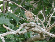 Field Sparrow.