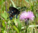 Pipevine Swallowtail.