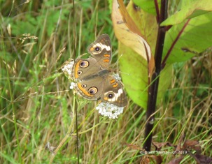 Common Buckeye.