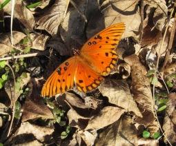 Gulf Fritillary butterfly by Bruce Stambaugh
