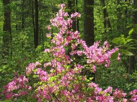 Pink azalea.