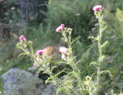 Thistle blossoms.