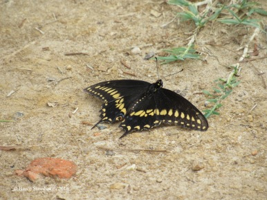 Swallowtail song by Bruce Stambaugh