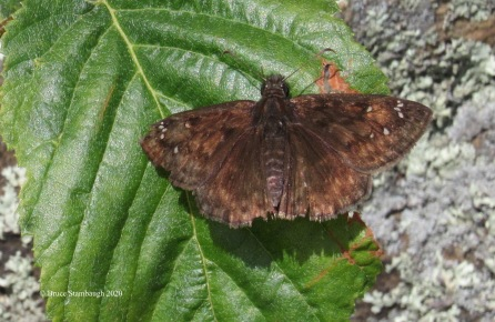 Common Sootywing by Bruce Stambaugh